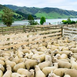 Taking stock of the sheep at Annandale